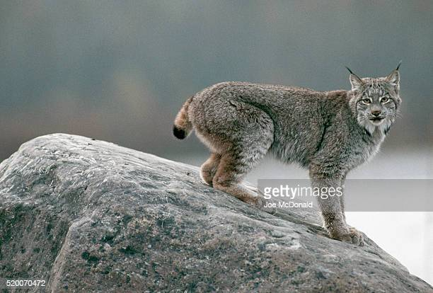 lynx crouching on rock - canadian lynx stock pictures, royalty-free photos & images