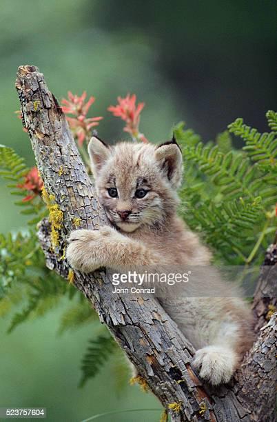 lynx cub on tree branch - linda rama fotografías e imágenes de stock