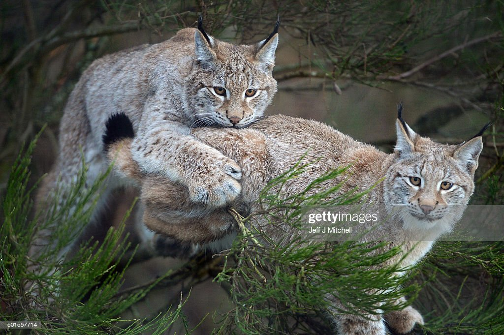Lynx cubs play in a bush in their enclosure at the Highland Wildlife Park on December 16, 2015 in Kincraig,Scotland. Concerns have been raised by Scottish landowners in over proposals to reintroduce Lynx back into the ecosystem in the wilds of Scotland. The Lynx UK Trust has been asking Scottish Land and Estates groups, their views on bringing the wild cat back into trial sites in Aberdeenshire, Argyll, and the Borders.