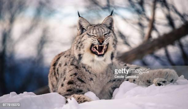 lynx grimace - lynx photos et images de collection
