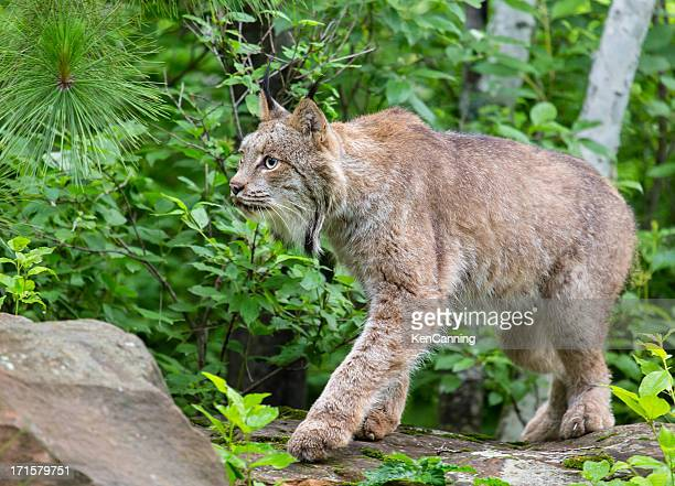 lynx in forest - lynx stock photos and pictures