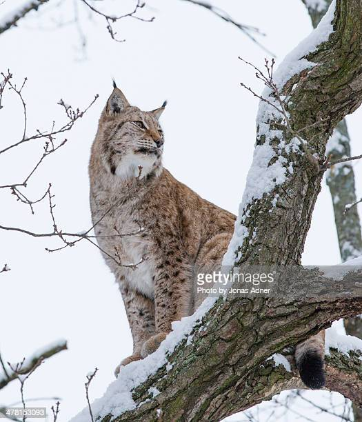 Lynx in the tree