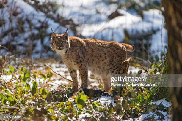 lynx in the vegetation with snow - lynx photos et images de collection