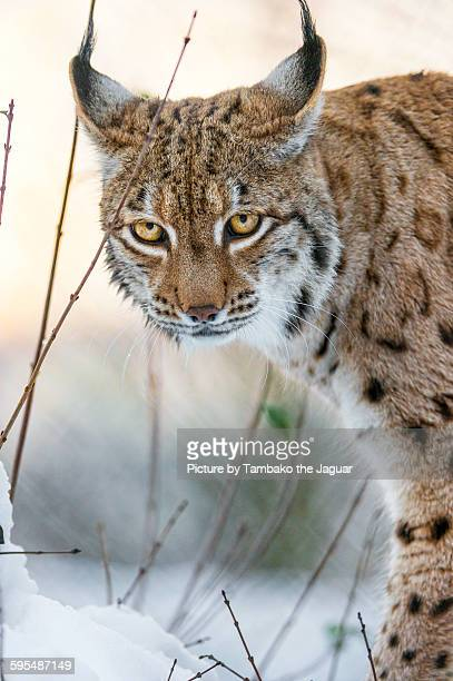 lynx in winter - lynx stock photos and pictures