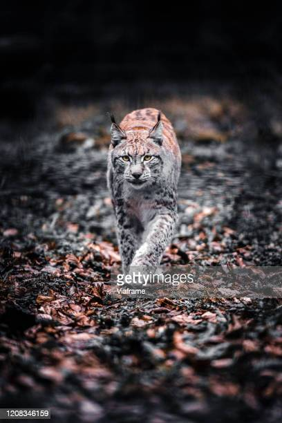 lynx in woods - dark panthera stock pictures, royalty-free photos & images