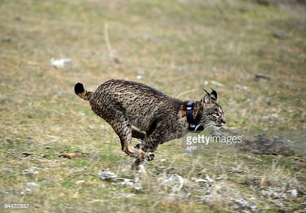 A lynx is released into the wild during the first experimental reintroduction of two Iberian lynxes in Villafranca de Cordoba southern Spain on...