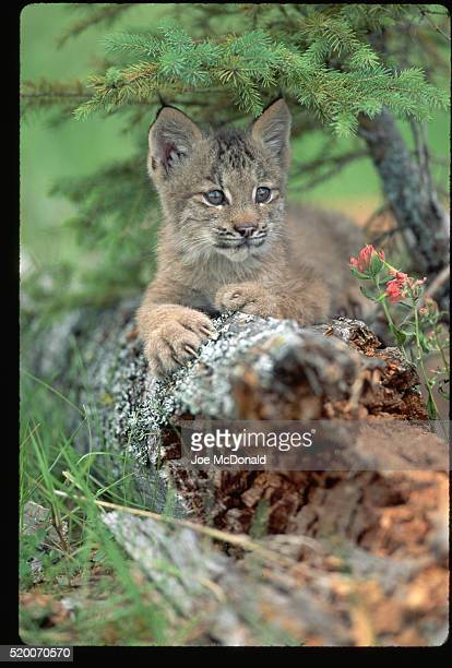 lynx kitten lying on a log - canadian lynx stock pictures, royalty-free photos & images