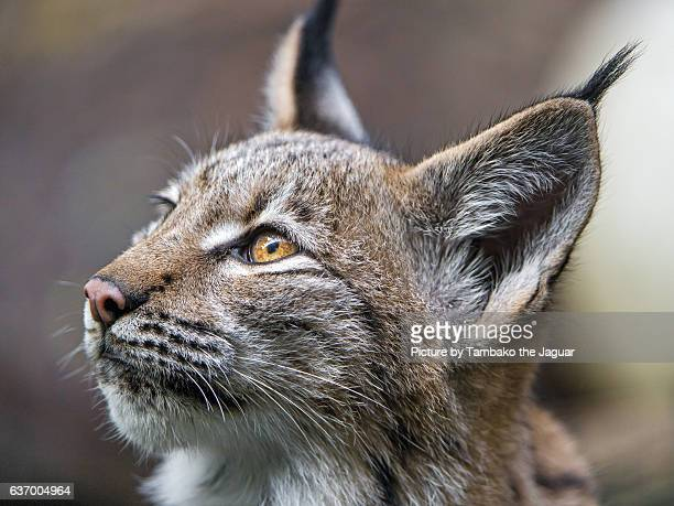 Lynx looking upwards