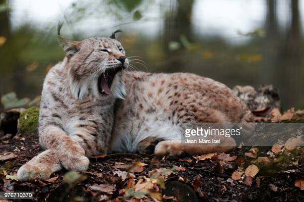 lynx lying down in forest and yawning, france - lynx stock photos and pictures