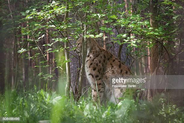 Lynx -Lynx lynx-, captive, Brandenburg, Germany