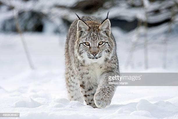 Lynx -Lynx lynx- on foot in the snow, Tierpark Sababurg, Hofgeismar, Hesse, Germany