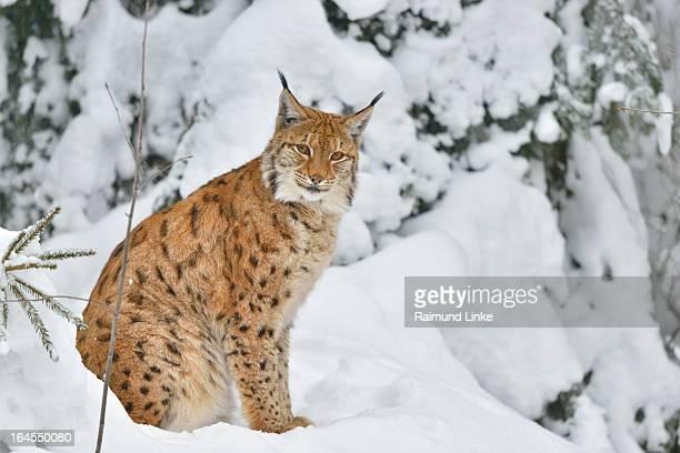 Lynx, Lynx lynx