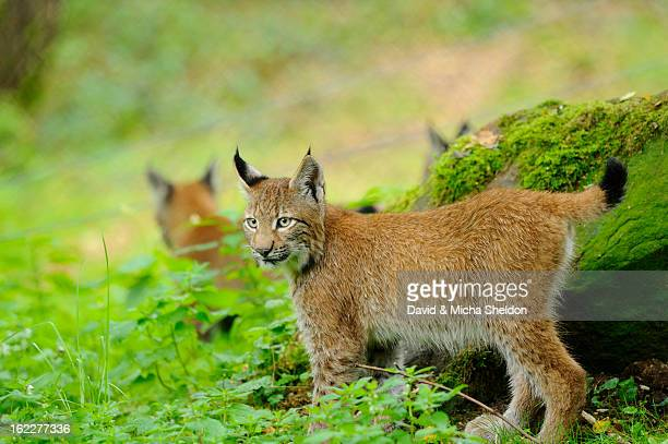 Lynx, Lynx lynx, Wildpark alte Fasanerie, Hanau, Hesse, Germany, Europe