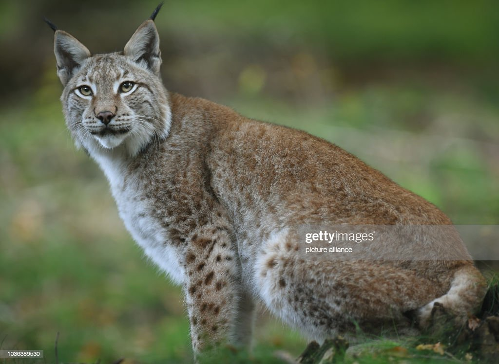 A lynx monitors the surrounding area in its enclosure at