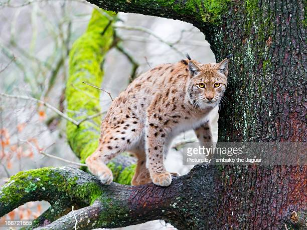 A lynx on the tree III