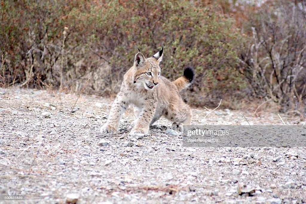 Lynx : Foto de stock