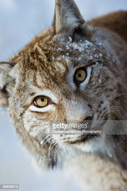 lynx - daniele carotenuto stock pictures, royalty-free photos & images