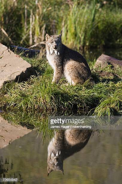 lynx (lynx canadensis) reflected sitting at waters edge, in captivity, minnesota wildlife connection, minnesota, united states of america, north america - canadian lynx stock pictures, royalty-free photos & images