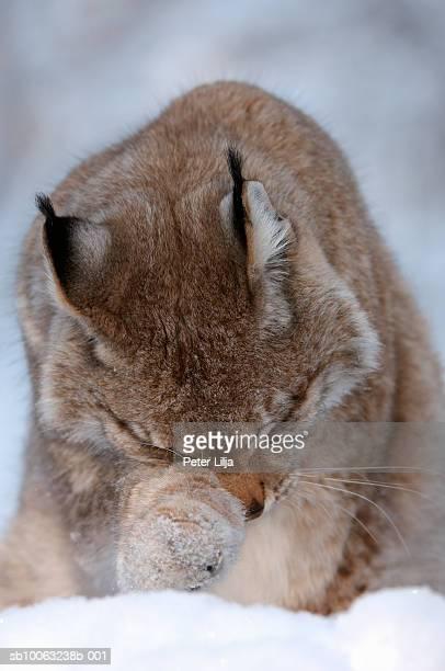 Lynx (Lynx lynx) rubbing on leg, close-up