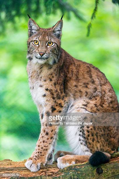 Lynx sitting on a log.