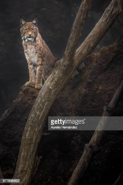 lynx sitting on rock and looking at camera, cantabria, spain - lynx photos et images de collection