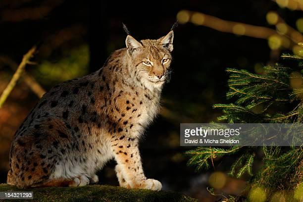 Lynx (Lynx lynx) sitting