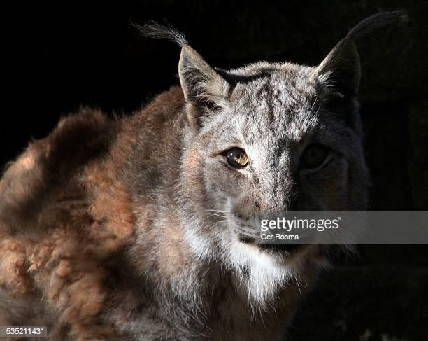 Lynx Staredown