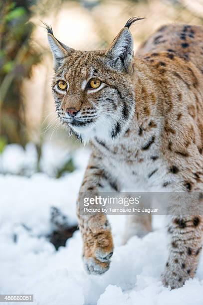Lynx walking in the snow