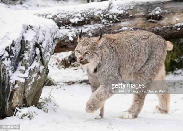 lynx (lynx canadensis) walking on snow, haines, alaska, usa - canadian lynx stock pictures, royalty-free photos & images