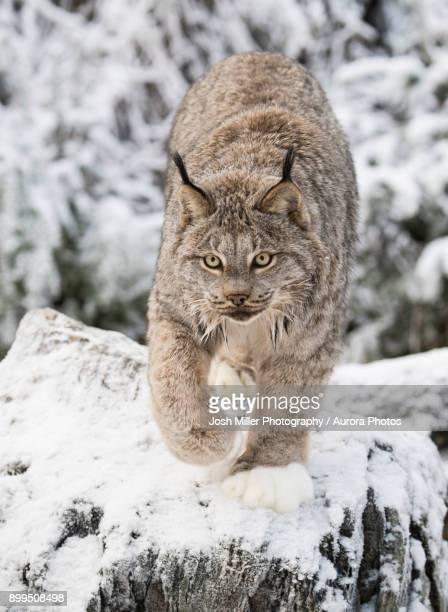 Lynx (Lynx canadensis) walking on snow, Haines, Alaska, USA