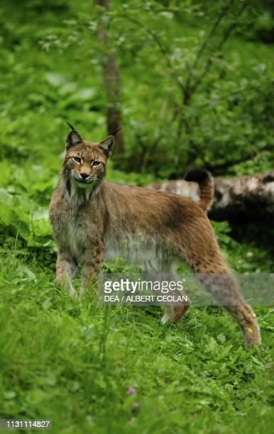 Lynx Wild and Adventure Park Ferleiten Austria