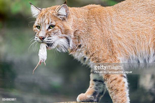 Lynx with a mouse in the mouth