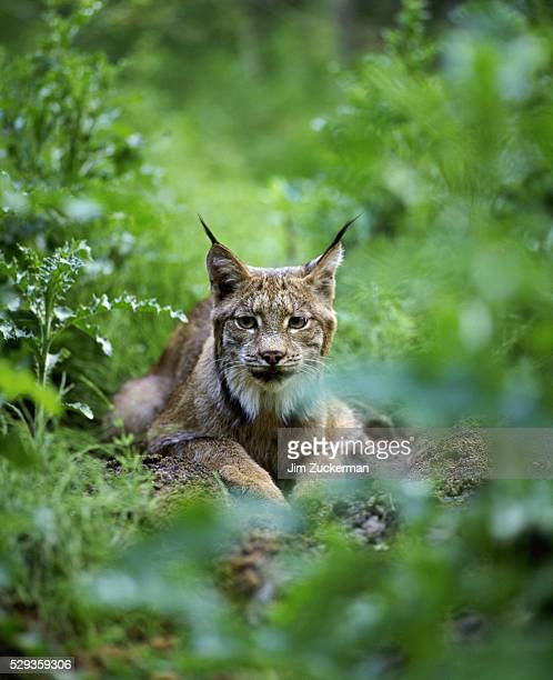 lynxes - canadian lynx stock pictures, royalty-free photos & images