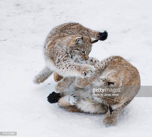 lynxes playing in the snow