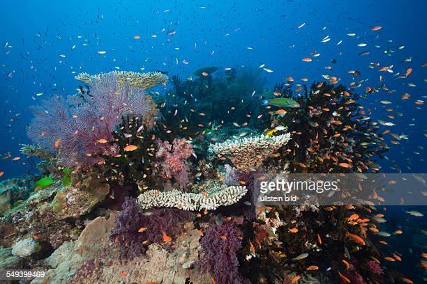 Lyretail Anthias in Coral Reef Pseudanthias squamipinnis Namena Marine Reserve Fiji