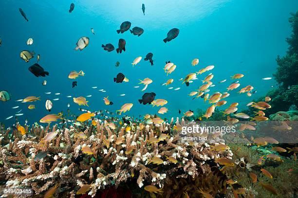Lyretail Anthias over Reef Pseudanthias cheirospilos Raja Ampat West Papua Indonesia