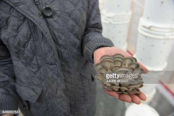 Lysiane Roy Maheu cofounder of Montreal urban mushroom farming startup Blanc de Gris holds oyster mushrooms in one of the six greenhouses of the...