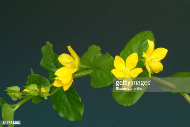 Lysimachia Nummularia Creeping Jenny Moneywort Herb Twopence and Twopenny Thot Medicinal Plant