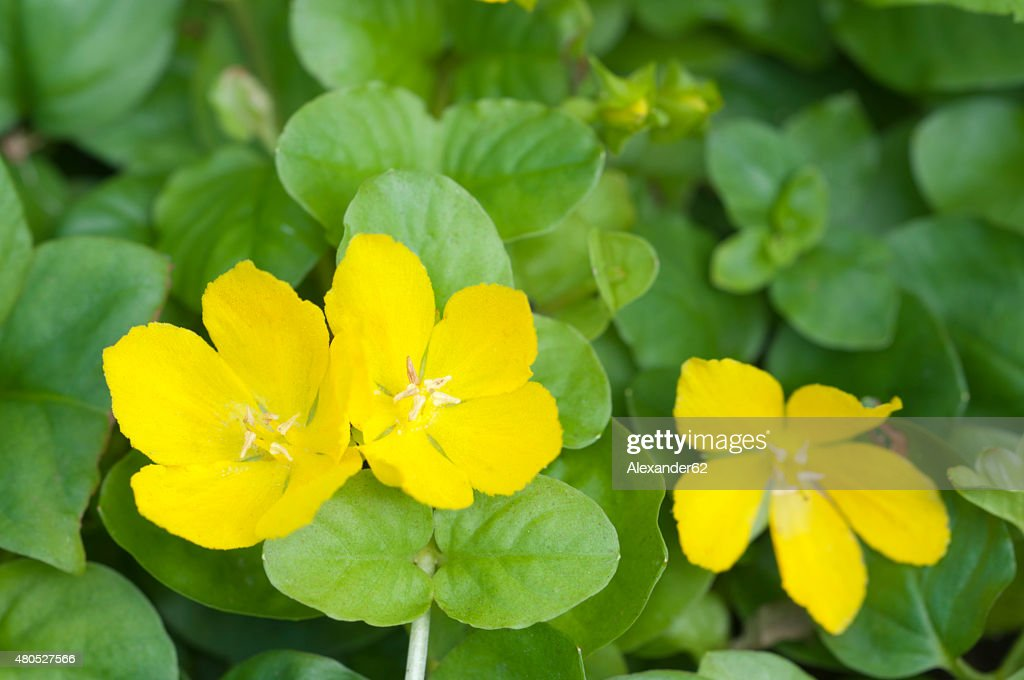 Lysimachia nummularia : Stock Photo