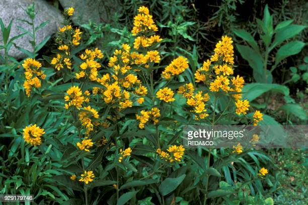 60 Top Lysimachia Pictures, Photos and Images - Getty Images
