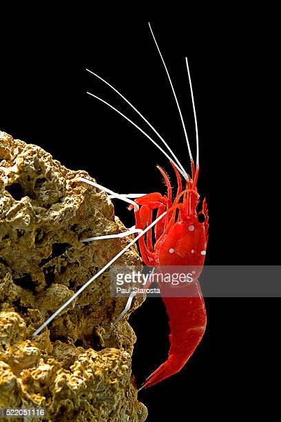 Lysmata debelius (scarlet cleaner shrimp, fire shrimp, blood shrimp)