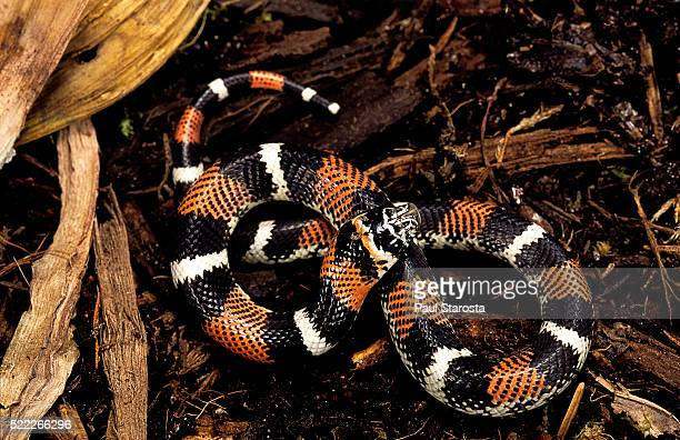 lystrophis semicinctus (hognose snake) - hognose snake stock pictures, royalty-free photos & images