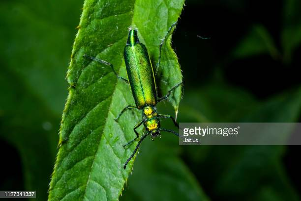lytta vesicatoria – spanish fly emerald-green blister beetle - emerald green stock pictures, royalty-free photos & images