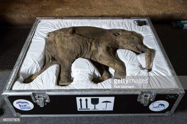 Lyuba the world's most complete mammoth is seen before going on public display at Natural History Museum on May 19 2014 in London England The baby...
