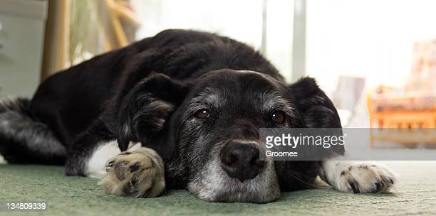 i'm bored-elderly pet dog lying flat out on carpet - partially sighted stock pictures, royalty-free photos & images