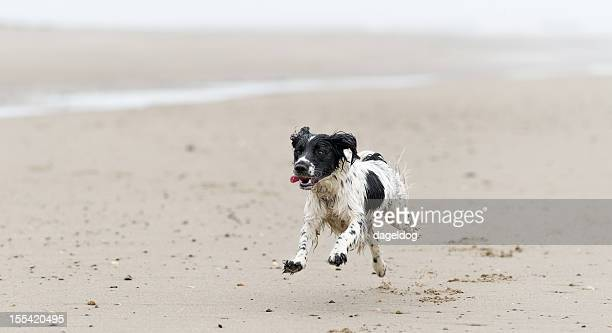 i'm coming - springer spaniel stock photos and pictures