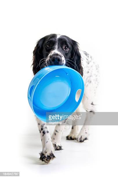 i'm hungry! - springer spaniel stock photos and pictures