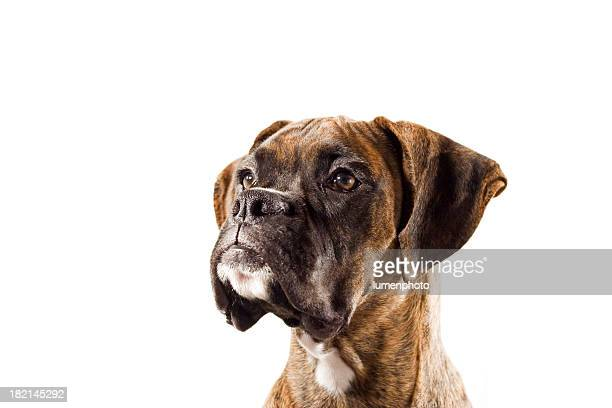i'm listening - boxer dog stock pictures, royalty-free photos & images