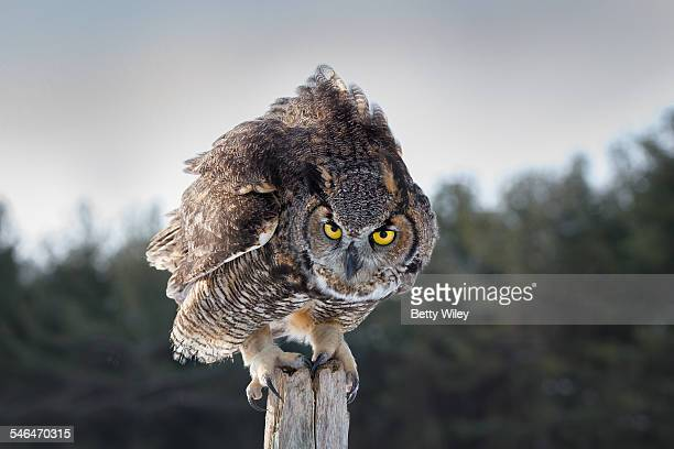 i'm looking at you - great horned owl stock pictures, royalty-free photos & images