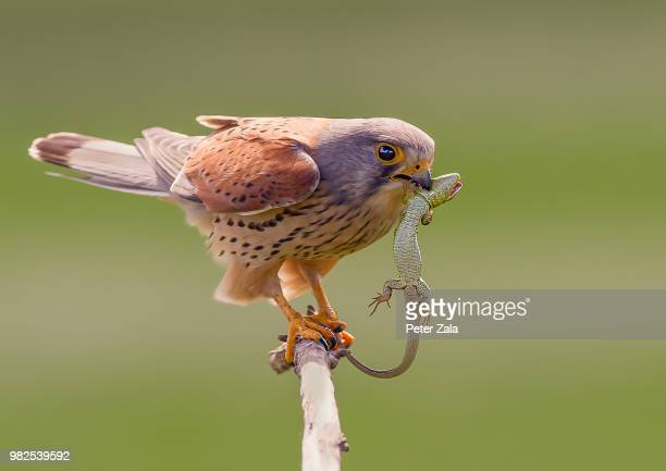 m lr - birds_of_prey stock pictures, royalty-free photos & images